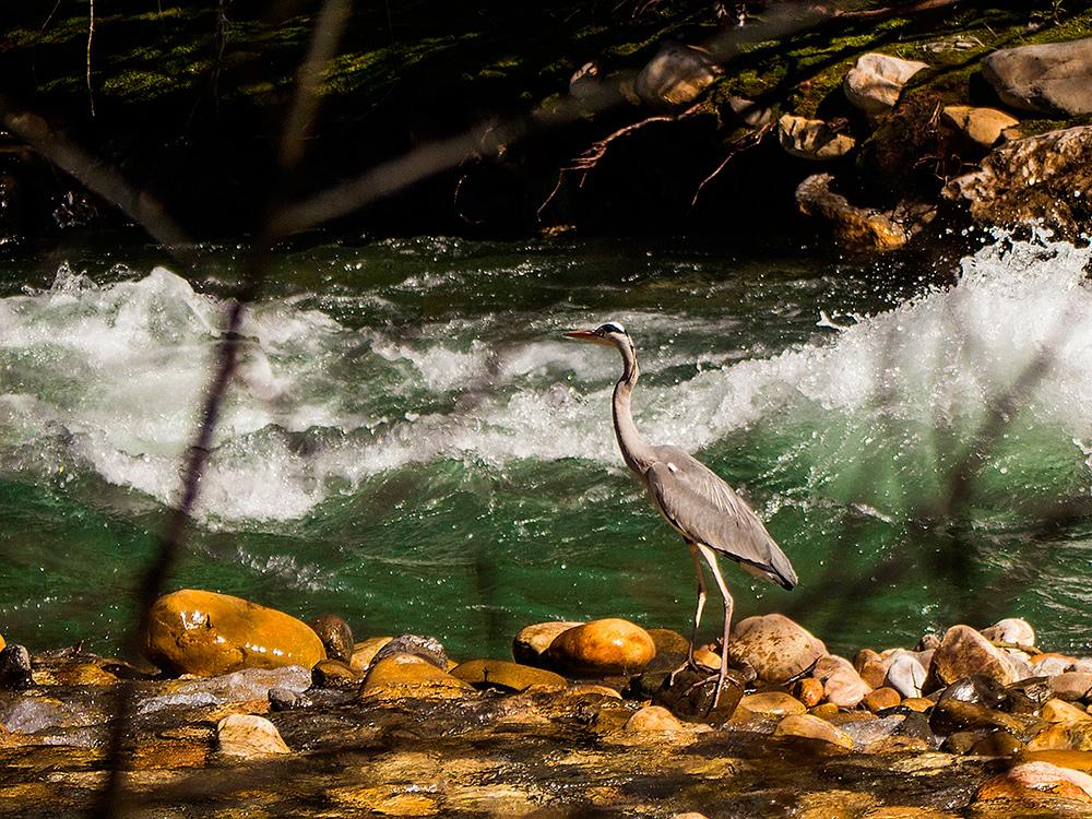 Garza nel ríu Aller, cerca Bustiello | Carlos Salvo