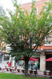 Cerezo en flor (Prunus serrulata).