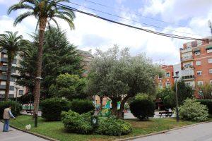 Olivo, palmeras y tejos, en los Jardines del Ayuntamiento.