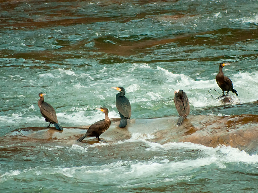 Cormoranes nel ríu Caudal -Santuyano (fot. Carlos Salvo).