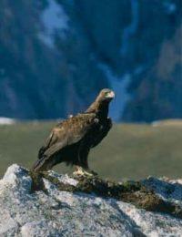 Águila real (Aquila chrysaetos).
